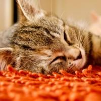 ペット用carpet
